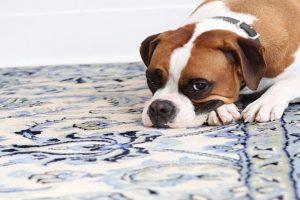 Собака на персидском ковре